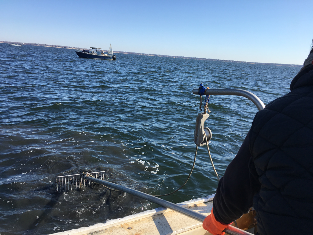 Dave Ghigliotti pulls up a bullrake full of quahogs, shells, and sediment.