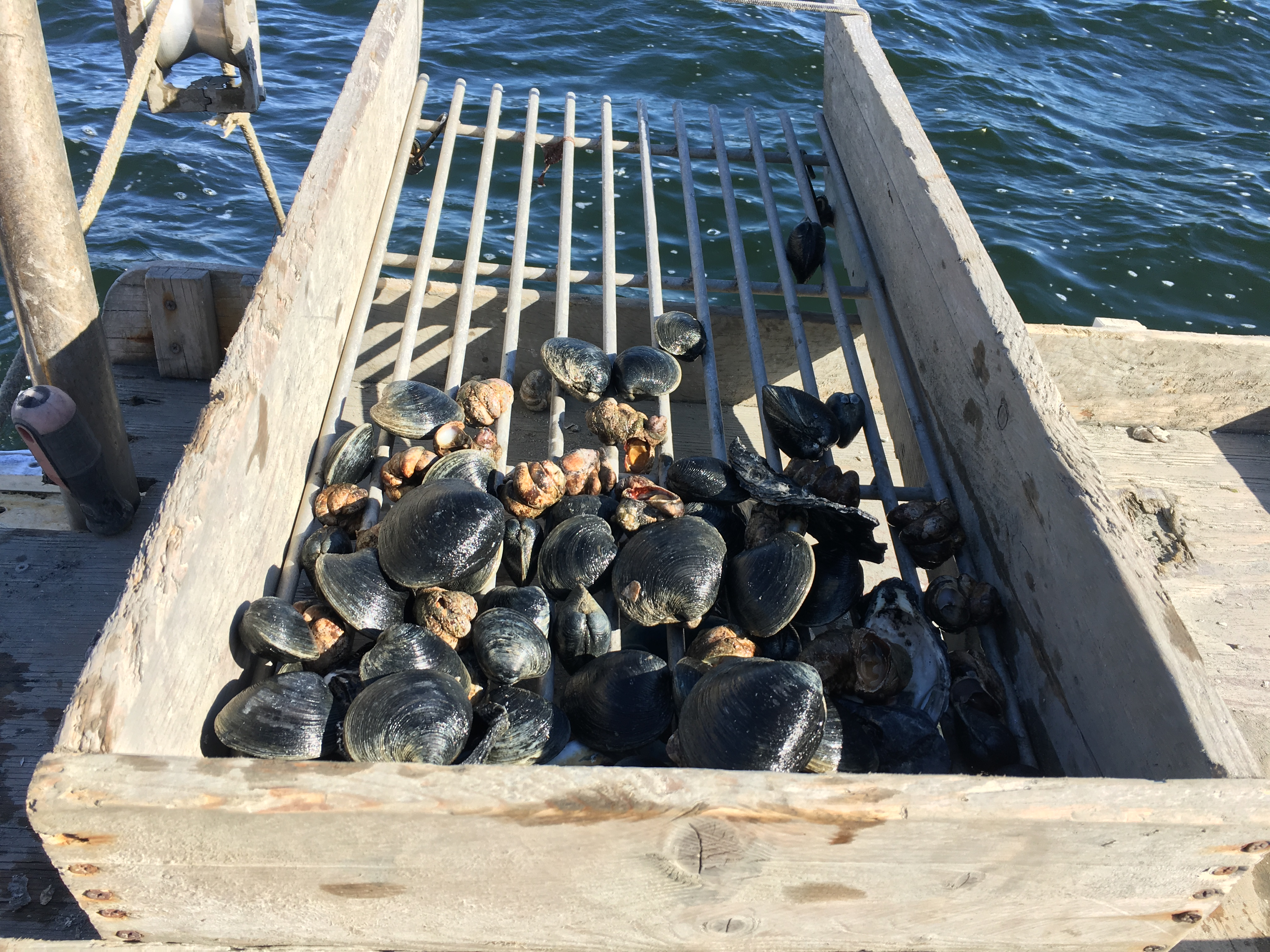 Ghigliotti uses this rack to sort the clam, tossing back any that are small enough to fall between the cracks.