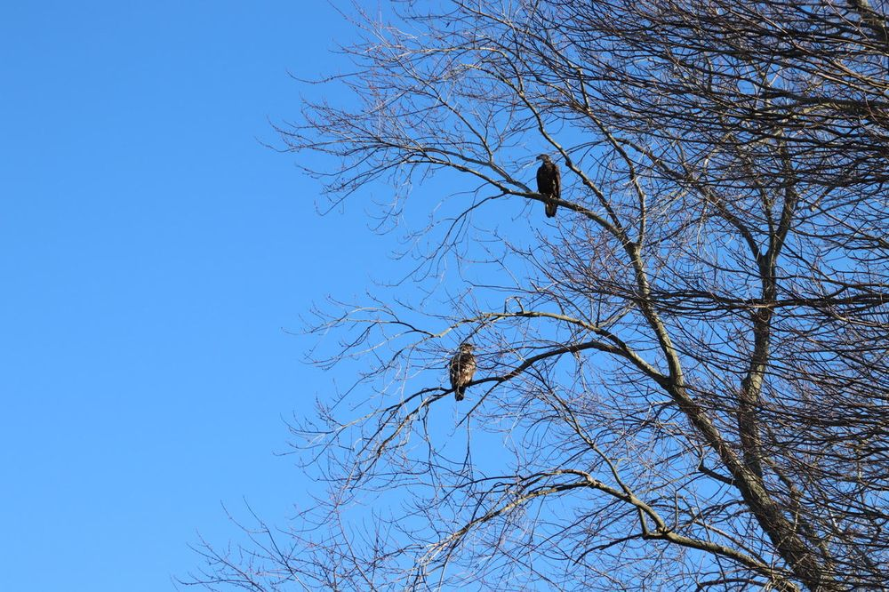 Juvenile bald eagles perched in Cranston, RI