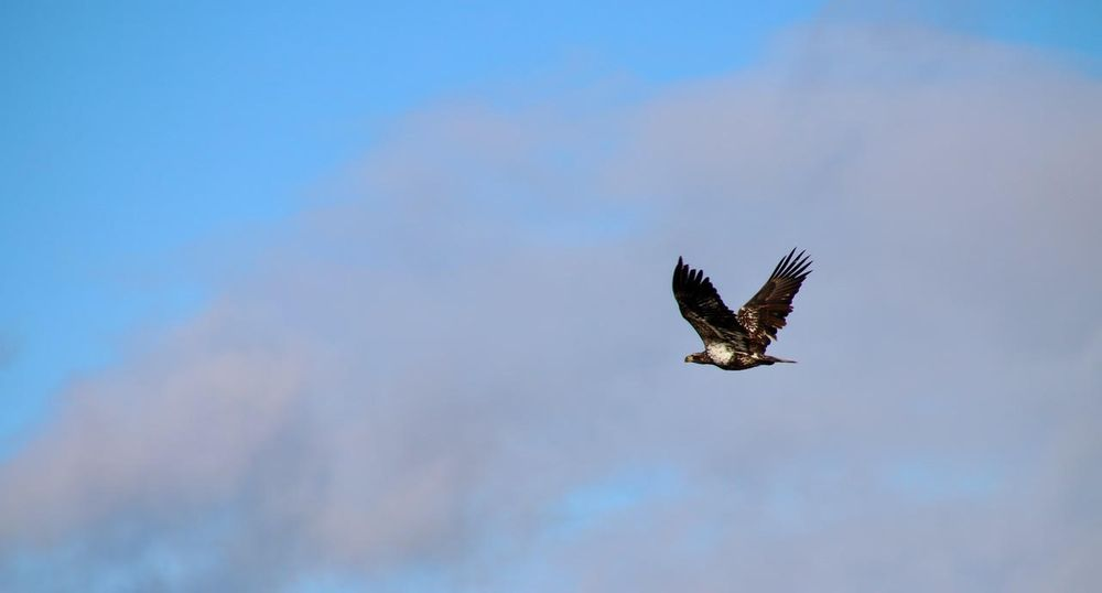 Juvenile bald eagle flying over Narragansett Bay near Cranston, RI
