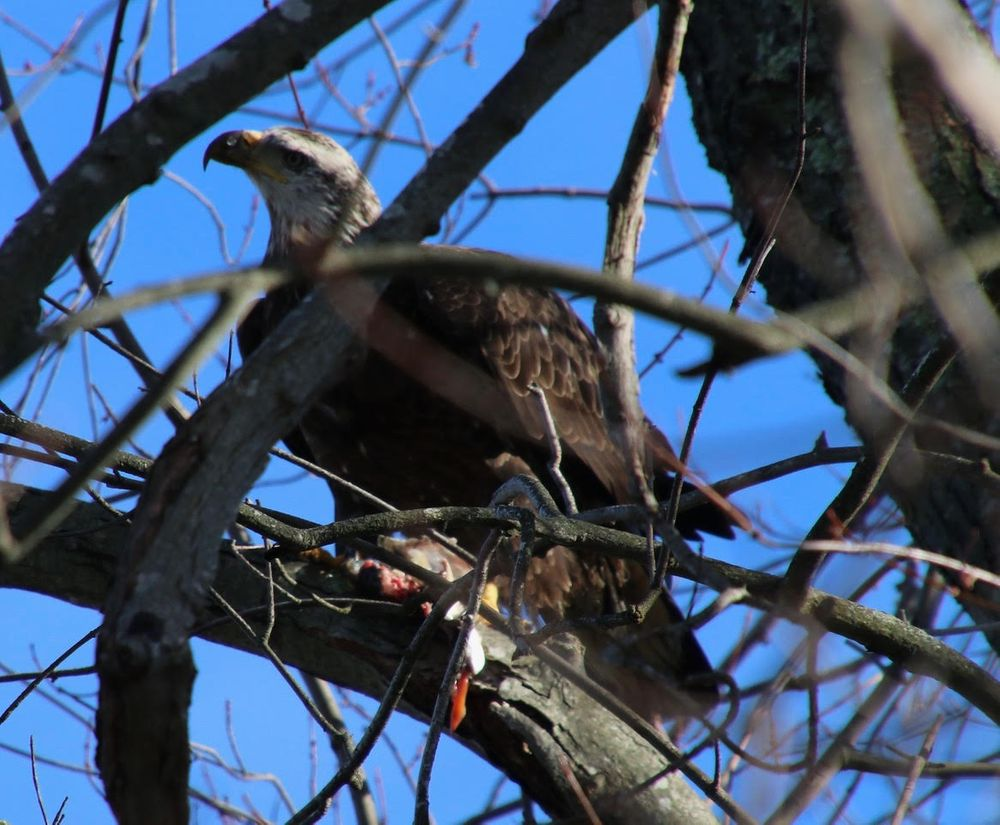 Juvenile bald eagle in Cranston RI