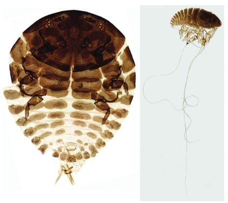 Slide-mounted HWA adult (left) and developing HWA (right).