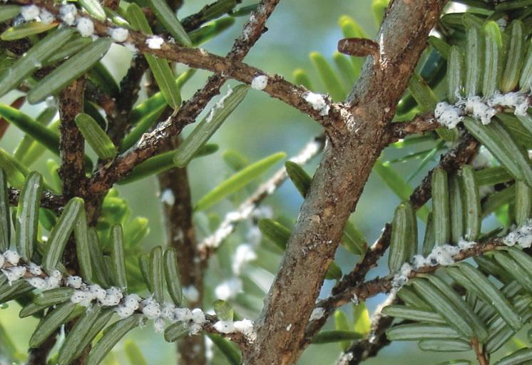 Hemlock woolly adelgid on an eastern hemlock tree.