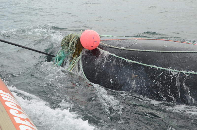 Atlantic Lobster Board Moves Toward Reducing Rope In Effort To Save Right Whales