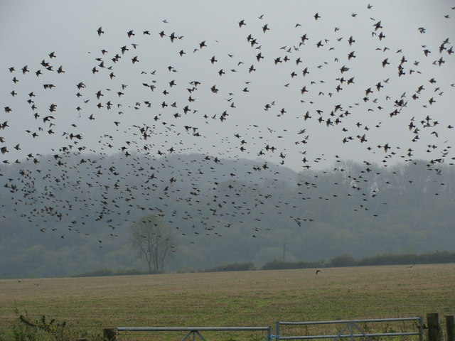 Crows and starlings fly over a farm in the United Kingdom. Starlings are major pests on some farms in Southeastern New England and can cause 75-80 percent damage to sweet corm crops in about 24 hours, according to URI professor Rebecca Brown.