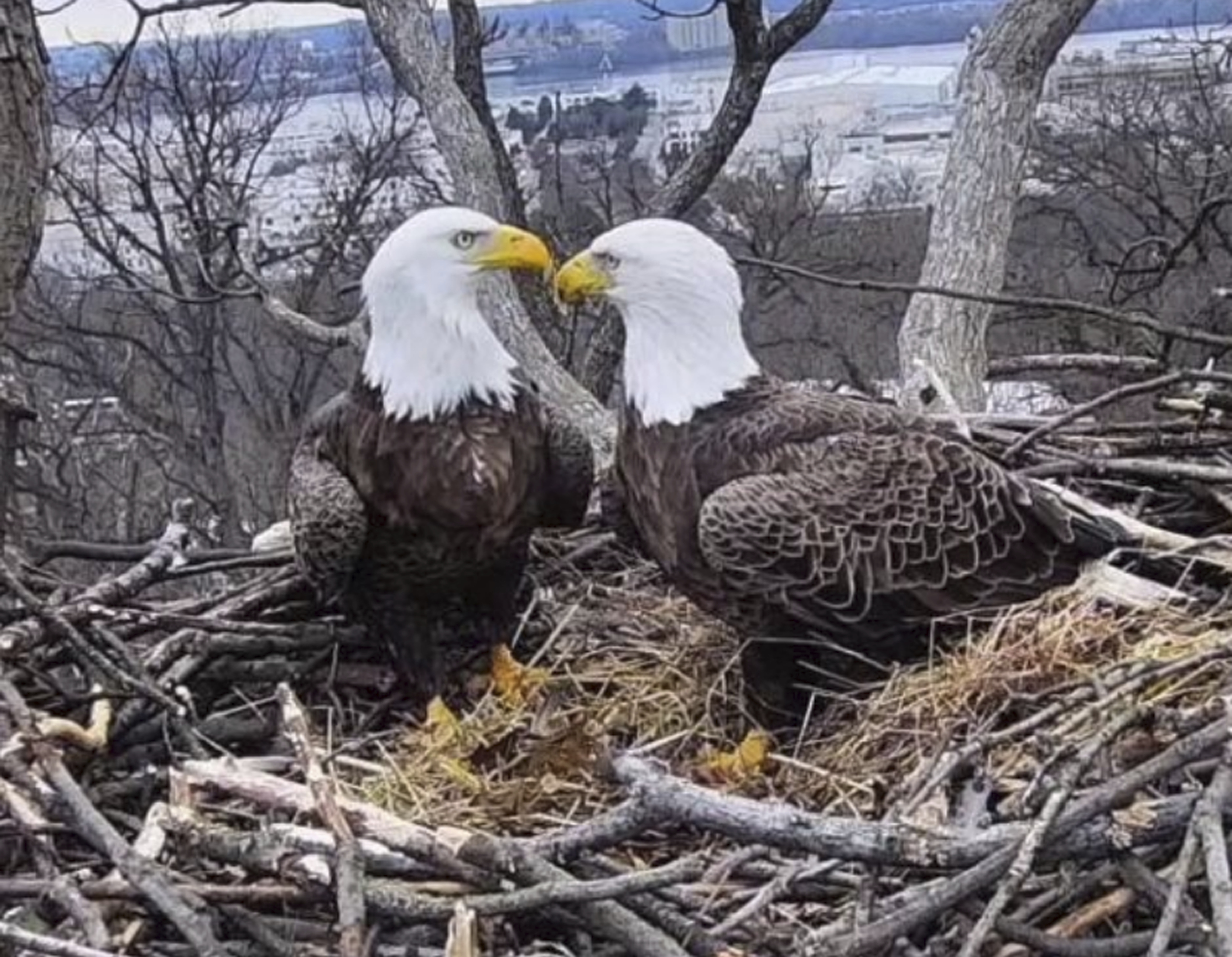 This March 4, 2019, image from video provided by Earth Conservation Corps Eagle Cam, shows Bald Eagles Liberty and Justice on their nest in Washington. It's a tale containing seemingly everything you'd need for a proper soap opera: star-crossed lovers, a stable relationship threatened by younger suitors, pregnancy and loss, and a hungry raccoon. Washingtonians, along with a global community of eagle-watchers, have been transfixed this winter by the tale of Liberty and Justice, a pair of bald eagles who have nested and raised eaglets together for 14 years on the grounds of Washington's police academy (Earth Conservation Corps via AP)