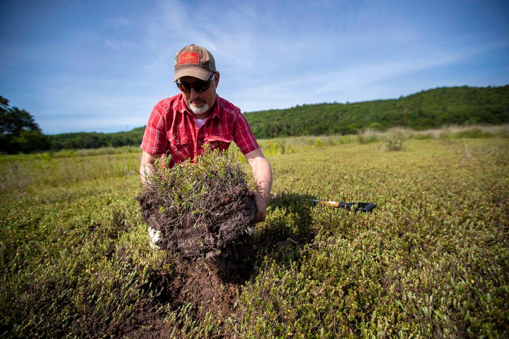 Alex Hackman, a state restoration ecologist, pulls out a section of cranberry bog at the Foothills Preserve in Plymouth. The alternating layers of sand and soil built up over a century of cranberry production.