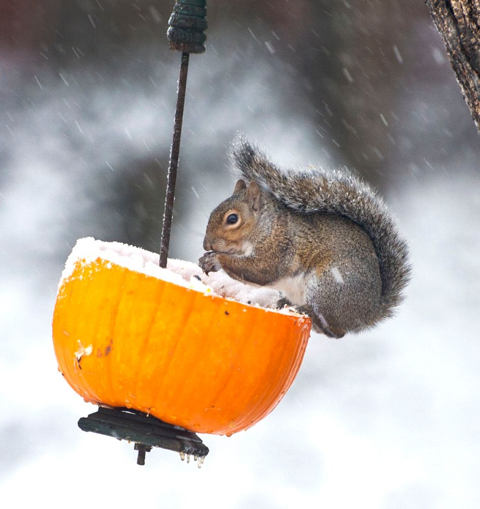 With a steady snow falling, a squirrel eats seeds from a recycled jack-o-lantern in Johnson City, Tenn., on Tuesday morning, Nov. 12, 2019. Following the light snowfall, temperatures began to drop throughout the day with record cold expected overnight. (David Crigger/Bristol Herald Courier via AP)