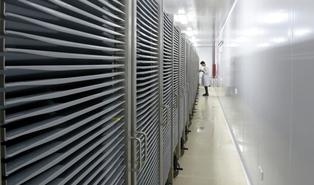 This July 13, 2019 photo provided by Guangzhou Wolbaki Biotech shows containers where Aedes albopictus mosquito larvae are being raised at the company's lab in Guangzhou, China. Researchers zapped the insects with a small dose of radiation and infected them with a virus-fighting bacterium called Wolbachia. Males and female mosquitoes with different types of Wolbachia won't have young that survive. So researchers intentionally infect males with a strain not found in the area and then release the insects. (Guangzhou Wolbaki Biotech via AP)
