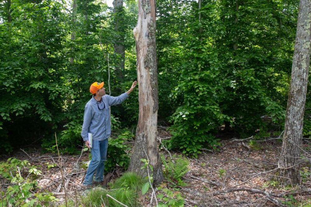 Forester Dan Evans surveys tree damage following a massive multi-year defoliation caused by gypsy moths in eastern Connecticut.