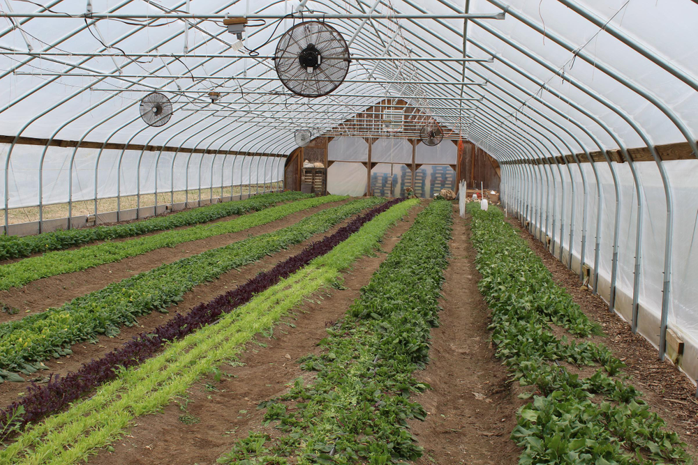 Spinach and other leafy greens are grown inside a hoop house, a structure similar to a greenhouse that enables farmers to extend the growing season in northern climates.