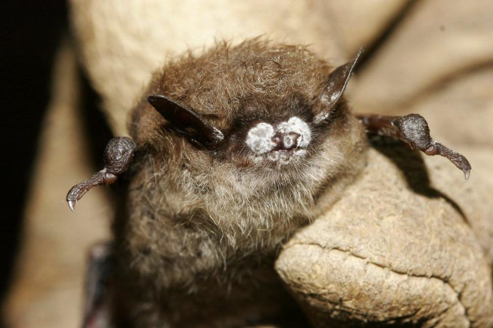 Little brown bat; close-up of nose with fungus, New York, Oct. 2008.