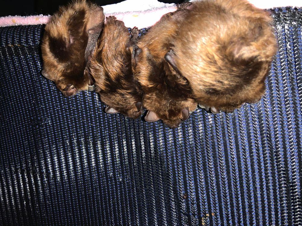 Four big brown bats at Kristin Fletcher's home.