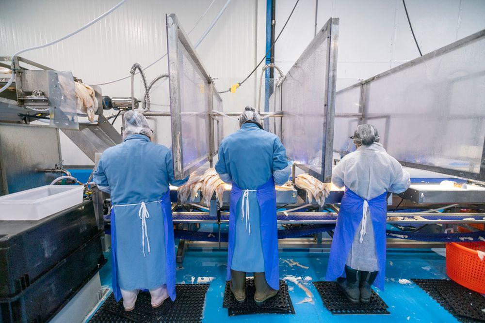Trabajadores de la planta de pescado que procesan mariscos en Blue Harvest Fisheries en New Bedford. Se agregaron separaciones de plexiglás en los espacios de trabajo para mejorar el distanciamiento social en la planta.