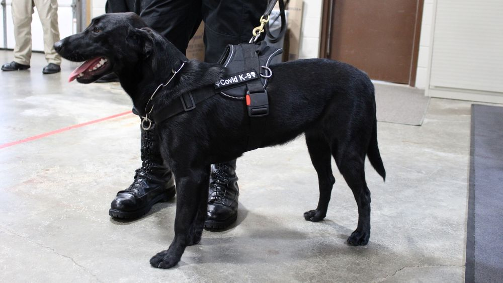 Huntah is one of two dogs the Bristol County sheriff says are trained to detect Covid.